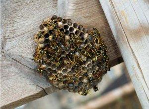 Wespenbestrijding: Hoe kom je van lastige Wespen en Wespennesten af?